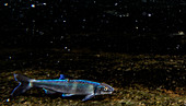 Male Spotfin Chub