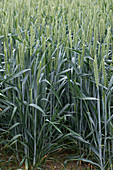 Wheat flowering ear