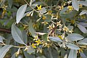 Russian Olive 'Quicksilver'