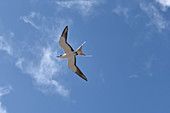 Sooty Tern on Ascension Island