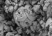 Calcareous Phytoplankton Fossil, SEM