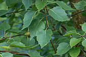 Young silver birch leaves