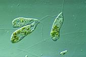 Flagella shown on Peranema