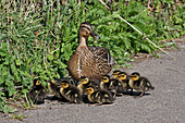 A mother Mallard with nine ducklings