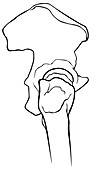 Hip Joint, Illustration