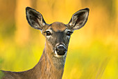 White-tailed doe in northern Wisconsin