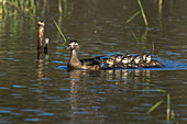Wood Ducks, Hen and Ducklings