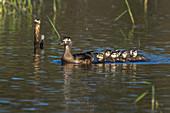Wood Ducks, Hen and Ducklings