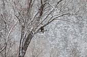 Bald Eagle in Snowy Tree