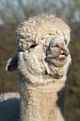 Old huacaya alpaca