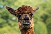 Brown male huacaya alpaca