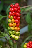 Wild arum ripening fruit