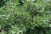 Spindle tree flowering