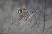 Barn Owl, Tyto alba