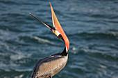 Brown Pelican, Pelecanus occidentalis