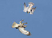 Red-tailed Hawk and Peregrine Falcon