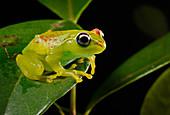 Madagascar Treefrog