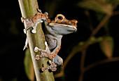 Madagascar jumping Frog