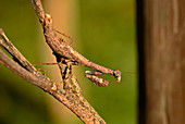 Stick Mantis