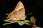 Double Headed butterfly