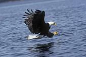 Bald Eagle Fishing