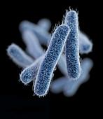 Drug-Resistant Shigella Bacteria, 3D Model