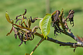 Walnut leaves with frost damage