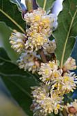 Bay laurel flowers