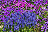 Aubretia & grape hyacinth