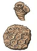 Rugose Coral Fossil, Illustration