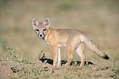 Juvenile Swift Fox