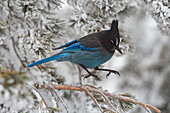 Steller's Jay jumping from snowy branch