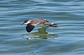 Great Shearwaters foraging for fish