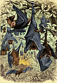 Flying Foxes, Illustration