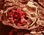 Red Blood Cells, Collagen Fibers, SEM