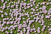 Ice Plants, Delosperma sp