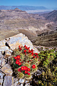 Claret Cup Cactus in Death Valley