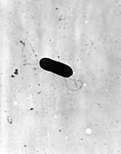 Listeria monocytogenes Bacteria, TEM