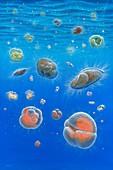 Foraminifera of the miocene, illustration