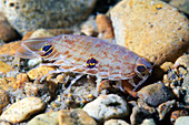 Marine isopod
