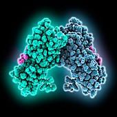 Breast cancer susceptibility protein, molecular model