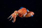 Atlantic bobtail squid mating