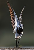 Blacksmith Lapwing Stretching