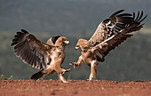 Tawny eagles fighting