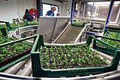 Quality control of chrysanthemum cuttings planted by robot