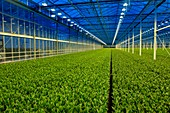 Commercial lisianthus cut flower production greenhouse
