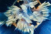Oral lobes of Aurelia limbata jellyfish