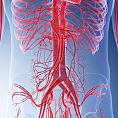 Illustration of the blood vessels of the abdomen
