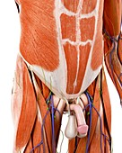 Illustration of the human abdominal anatomy