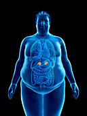Illustration of an obese man's adrenal glands